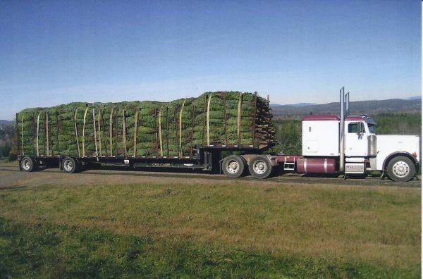 real-Christmas-trees-Wholesale