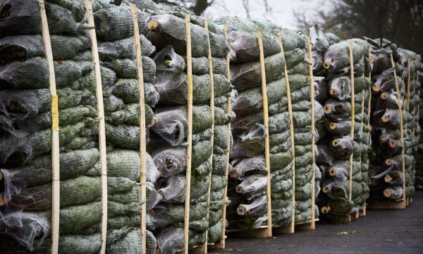 wholesale-Real Christmas Trees Package large