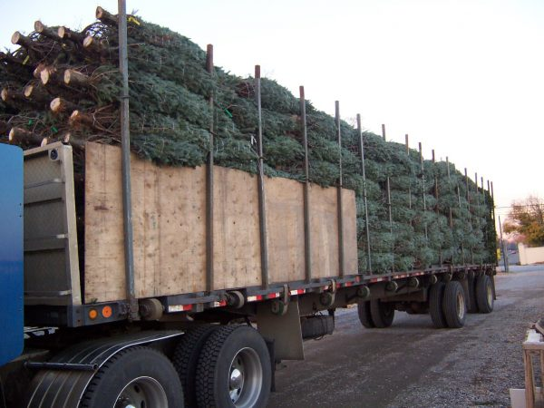 wholesale-Real Christmas Trees Package medium